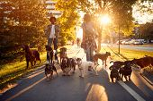Dog walker at work. Couple dog walker walking with a group dogs in the park poster