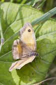 stock photo of gatekeeper  - Gatekeeper Butterfly (Pyronia tithonus) perched on a leaf