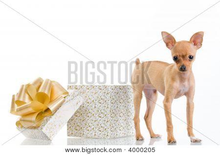 Funny Little Dog Near Gift Box