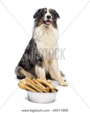 Australian Shepherd sitting with a bowl full bones in front of him against white background