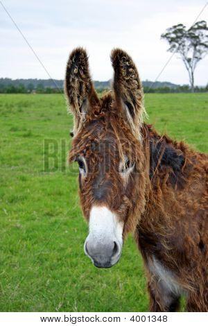 Miss Donkey Big Ears
