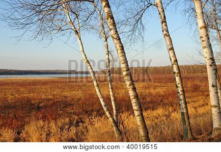 Birch trees in autumn landscape