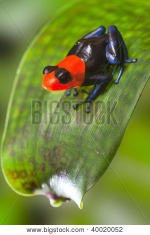 poison dart frog Peru Amazon rain forest animal tropical exotic amphibian with bright red warning colors sitting on leaf in jungle Dendrobates Ranitomeya benedicta