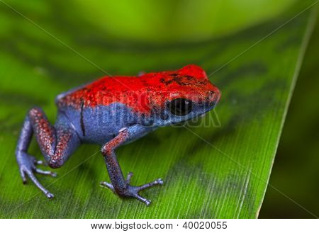 frog red and blue amphibian poisonous animal of tropical rain forest Panama Isla Escudo strawberry poison dart frog Oophaga pumilio