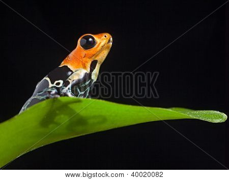 frog in Amazon rainforest Peru tropical amphibian Fantastic poison dart frog Dendrobates fantasticus or Ranitomeya fantastica red warning color cute small animal
