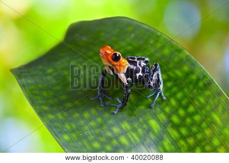 poison arrow frog ranitomeya fantastica of tropical Amazon Rain forest in Peru poisonous animal with warning colors