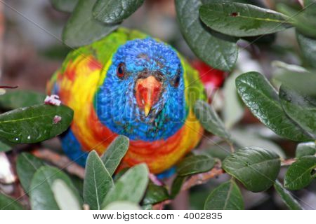 Cheeky Lorikeet