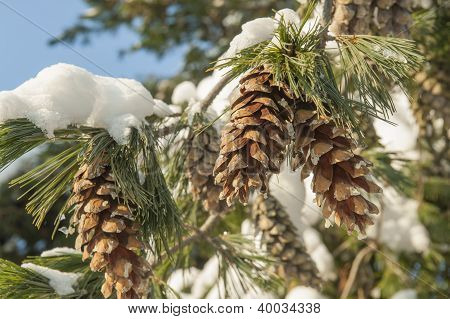 Fir Cones In Snow