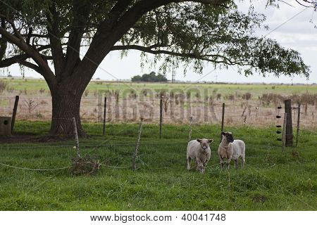 Sheeps At The Countryside Near Villa Gesell