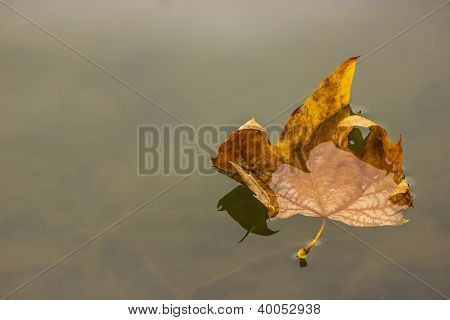 Leaf Floating on the Water
