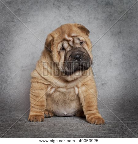 Portrait Of Shar-pei Puppy Dog
