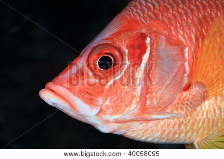 Giant Squirrelfish