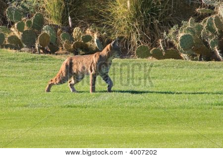 Arizona Bobcat Stalking It'S Prey