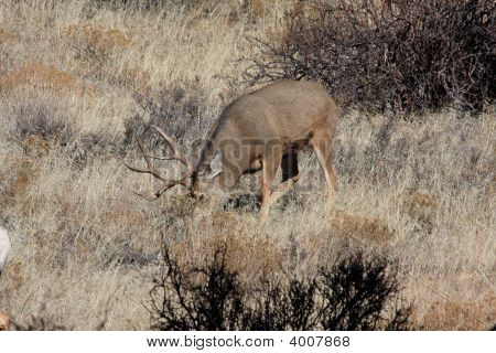 Big Buck Feeding