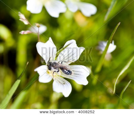 Burrowing Bee, Genus Andrena, On Meadowfoam, Limnanthes Douglasii