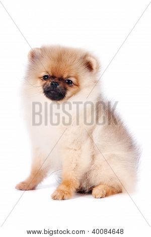 Puppy Of A Spitz-dog In A Basket