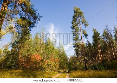 In Pine Plantations