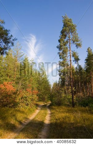 Road In Pine Plantations