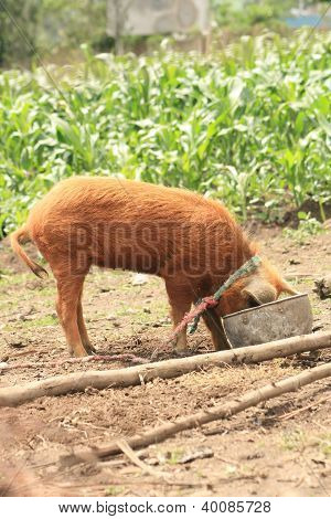Female Pig in a Slop Bucket