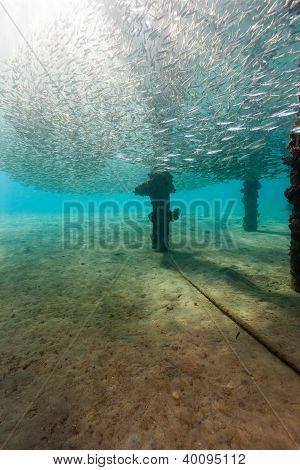 A Shoal Of Silverside Baitfish Swirl Around A Manmade Jetty Leg