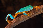 stock photo of orange frog  - tree frog climbing branch tropical treefrog in Amazon rain forest Cruziohyla or Phyllomedusa calcarifer lives in exotic rainforest of Colombia - JPG