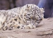 stock photo of panthera uncia  - Snow Leopard cleaning itself - JPG