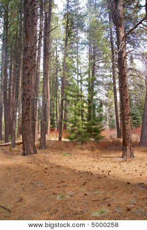 Ponderosa Pines And Forest Floor