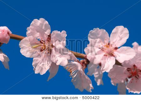 Cherry Plum Tree Flower