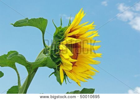 Sunflower Over Blue Sky With Green Leaves