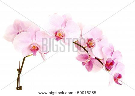 Stem Of Orchids.