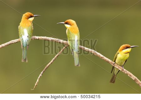Chestnut-headed Bee-eater: Merops Leschenaulti.