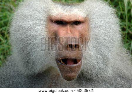 Face Of Monkey