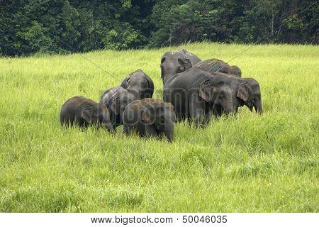 Elephants Asia