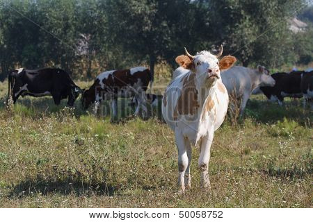 White cow mooing in the pasture