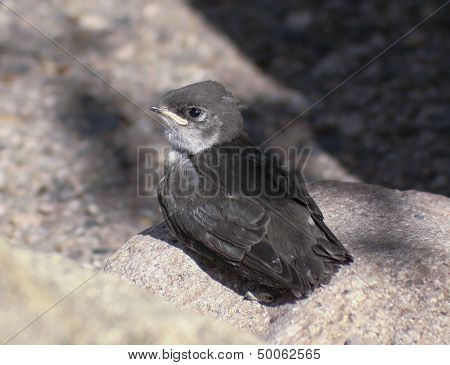 A Fledgling Swallow On A Granite Rock