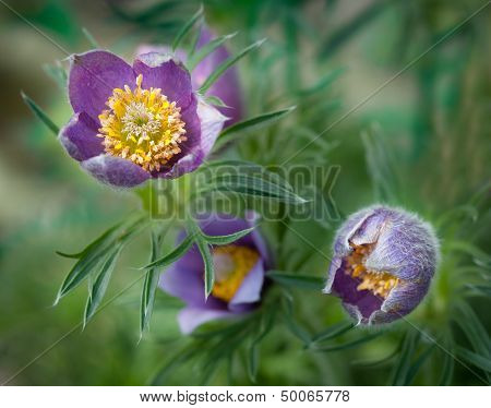 Pasque Flower (Pulsatilla patens) Blooms