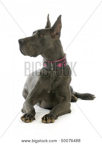 great dane wearing heart collar laying down with reflection on white background