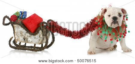 dog pulling christmas sleigh - english bulldog tied to sleigh full of christmas presents on white background