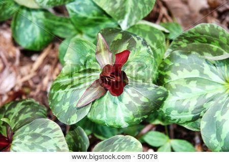 Bright Purple Trillium