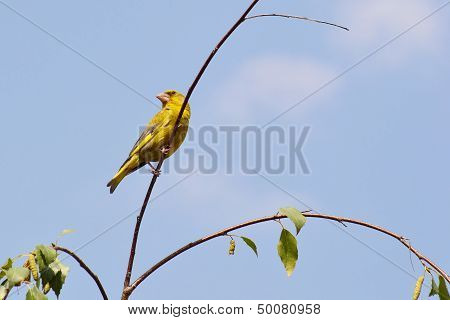 Greenfinch On A Twig