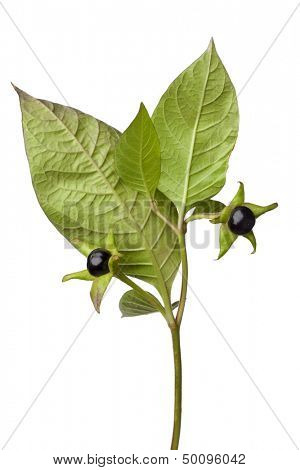 Poisonous Belladonna berries on white background