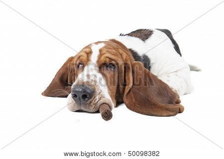 Dog (basset) With A Cigar