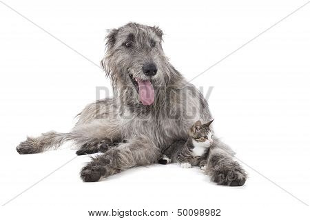Dog (Irish wolfhound) and the kitten