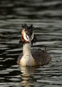 image of great crested grebe  - Great Crested Grebe swimming in a Scottish Loch - JPG