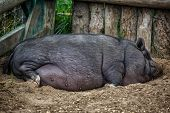 Large pot bellied pig sleeping in the farmyard dirt.