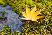 Yellow maple leaves on moss