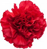 stock photo of carnation  - red carnation flower isolated on white background - JPG
