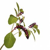 stock photo of pokeweed  - Pokeweed isolated on a white background  close - JPG