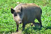 stock photo of omnivores  - Wild boar or wild pig (Sus scrofa) is a species of the pig genus Sus, part of the biological family Suidae.