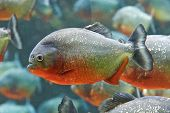picture of piranha  - Closeup of the ferocious red piranha fish - JPG